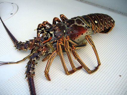 Spiny Lobster | Caribbean | Warm And Cold Water Lobster Tails